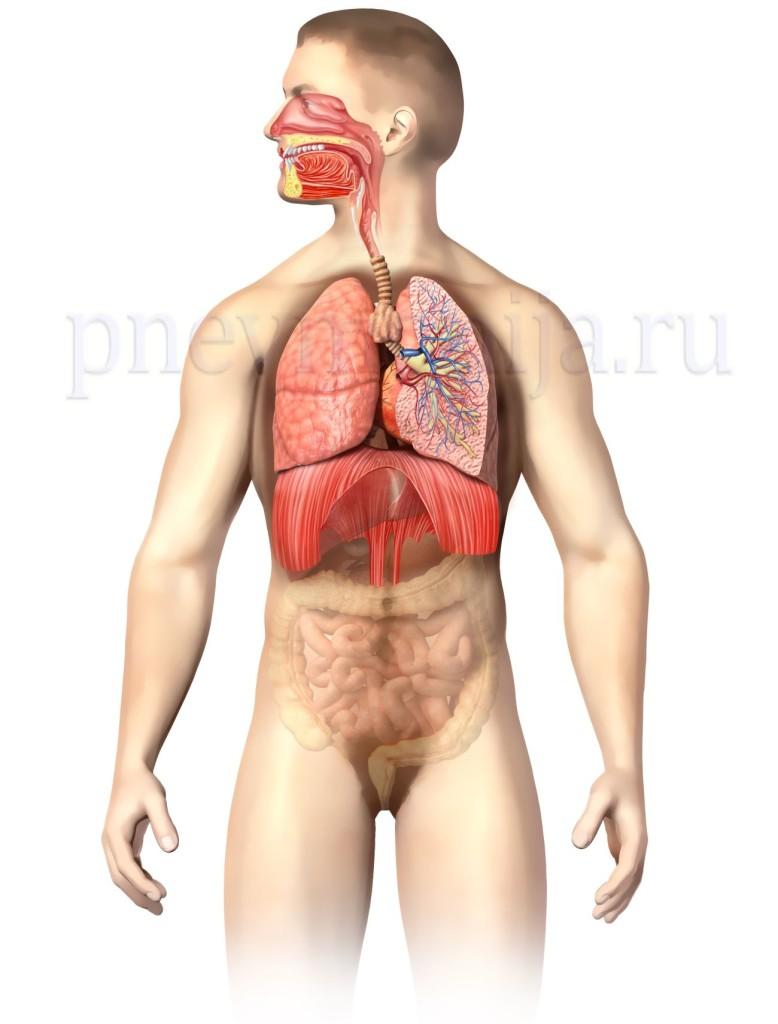 органы дыхательной системы человека