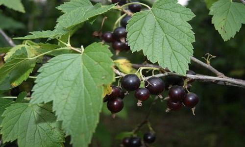 Отвар из листьев смородины при аденоиде