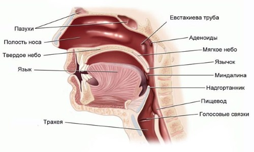 Расположение аденоидов у человека
