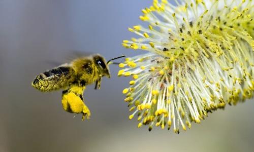 Пыльца - одна из причин аллергического насморка