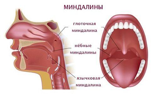 Схема расположения миндалин