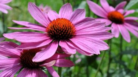 Лекарственные растения против стафилококка